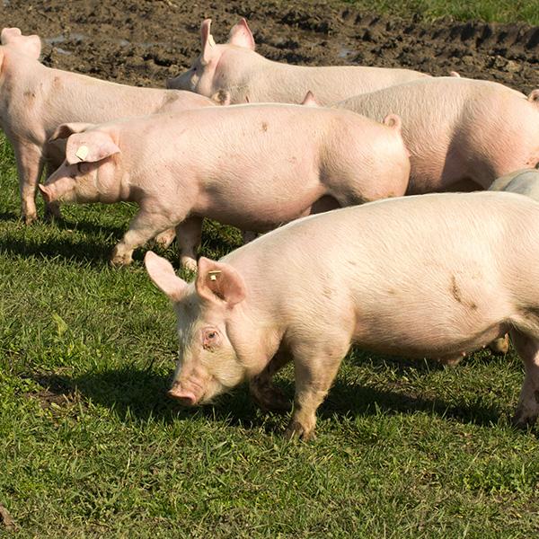 Ferme_Loranger_compostage_mortalités_animales_brome_compost_composting_Farm_mortalities