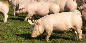 Compostage de mortalité porcine - composting pig mortality